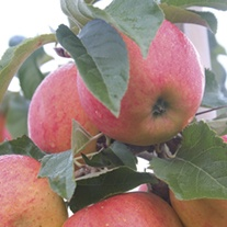 Apple James Grieve AGM Fruit Tree