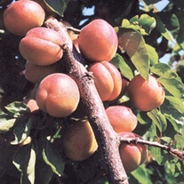 Apricot Tomcot Fruit Tree
