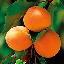Apricot Flavourcot Fruit Tree