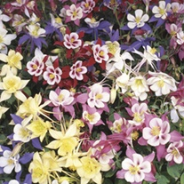 Aquilegia Swan Mixed F1