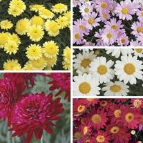 Argyranthemum  Flower Plants Collection