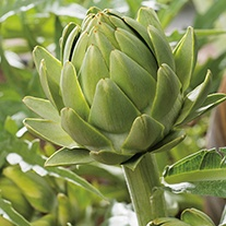 Artichoke Green Globe Veg Plants