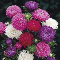 Aster Matador Mixed Plug Plants
