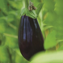 Aubergine Black Pearl F1 (Grafted) Plants