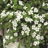 Bacopa Snowtopia Flower Plants