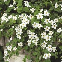 Bacopa Snowtopia Flower Plants
