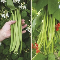 Runner Bean Plants Collection