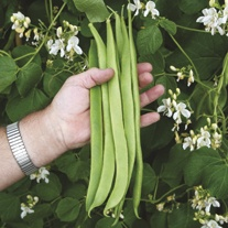 Runner Bean Moonlight AGM Plants