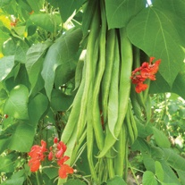Runner Bean Firestorm AGM Seeds