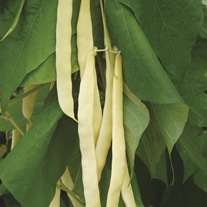 French Climbing Bean Golden Gate AGM Seeds