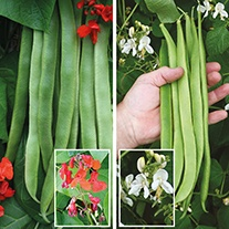 Runner Bean Veg Plant Collection