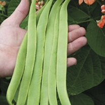 Runner Bean Aurora Vegetable Plants