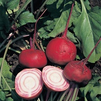 Beetroot Chioggia Veg Plants