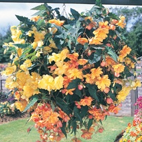 Begonia Illumination Apricot Shades F1 Plug Plants