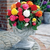 Begonia Non- Stop Mixed F1 Flower Plants