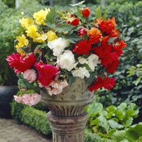Begonia Pendula Mixed Flower Bulbs