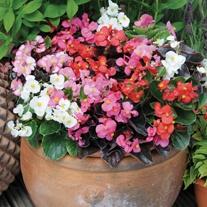 Begonia Devil's Delight Mixed F1plug plants