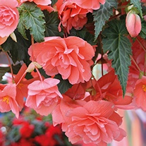 Begonia Illumination Salmon Pink F1 plug plants