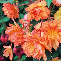 Begonia Illumination Golden Picotee Flower Plants