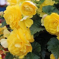 Begonia Illumination Lemon F1 Flower Plants