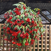 Begonia Illumination Scarlet Plug Plants