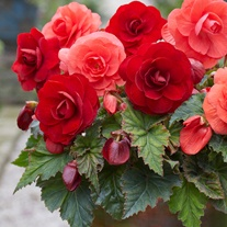 Begonia Amerihybrid Rose Tuber Collection