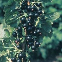 Blackcurrant Ben Connan AGM Fruit Plant