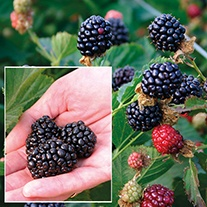 Blackberry Reuben Fruit Plant (Primocane)