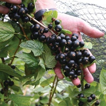Blackcurrant Fruit Plant Big Ben AGM
