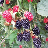 Blackberry Ouachita Fruit Plant (Floricane)