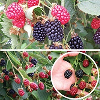 Blackberry Fruit Plant Collection