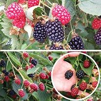 Blackberry Fruit Plant Collection