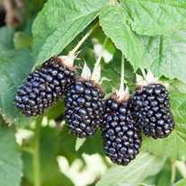 Blackberry Prime Ark 45 Fruit Plant (Primocane)