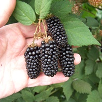 Blackberry Karaka Black Fruit Plant (Floricane)