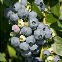 Blueberry Bluecrop Fruit Plants