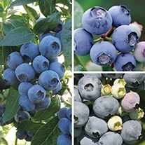 Long Cropping Blueberry Fruit Plant Collection
