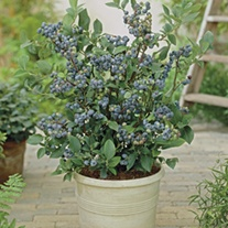 Blueberry Blue Sapphire fruit plants