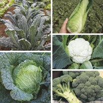 Autumn Harvest Brassica Plant Collection