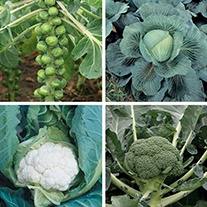 Clubroot Resistant Brassica Veg Plant Collection