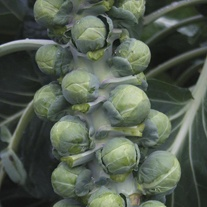 Brussels Sprout  Arundel F1 Seeds