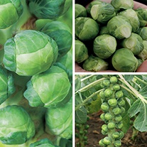 Brussels Sprout Veg Plant Collection