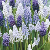 Muscari Mixed Flower Bulbs