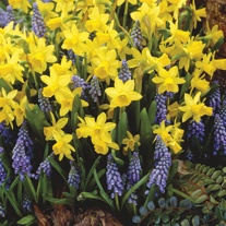Narcissus and Muscari Flower Bulb Collection