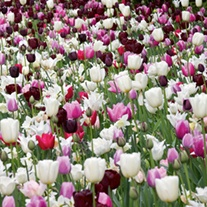 Pink Shades Flower Bulb Collection