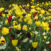 Yellow And Maroon Shades Flower Bulb Collection
