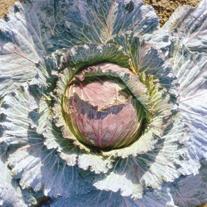 Cabbage Marabel F1 Plants