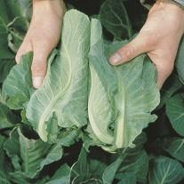 Cabbage Frostie F1 Plants