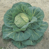Cabbage Spring Hero F1 Plants