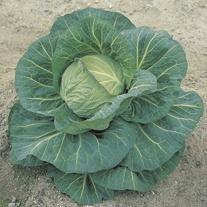 Cabbage Spring Hero F1 Plants