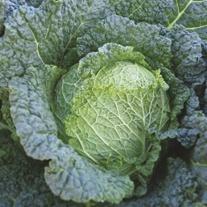Cabbage Savoy Serve F1 Plants